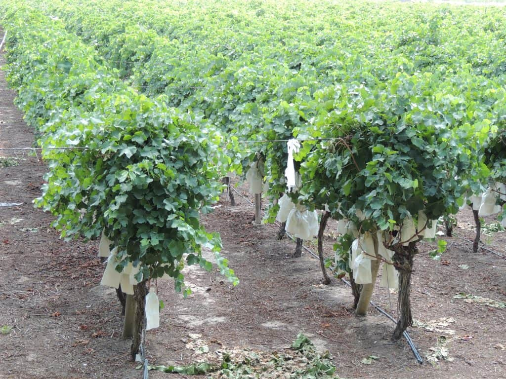 Vineyard in Novelda